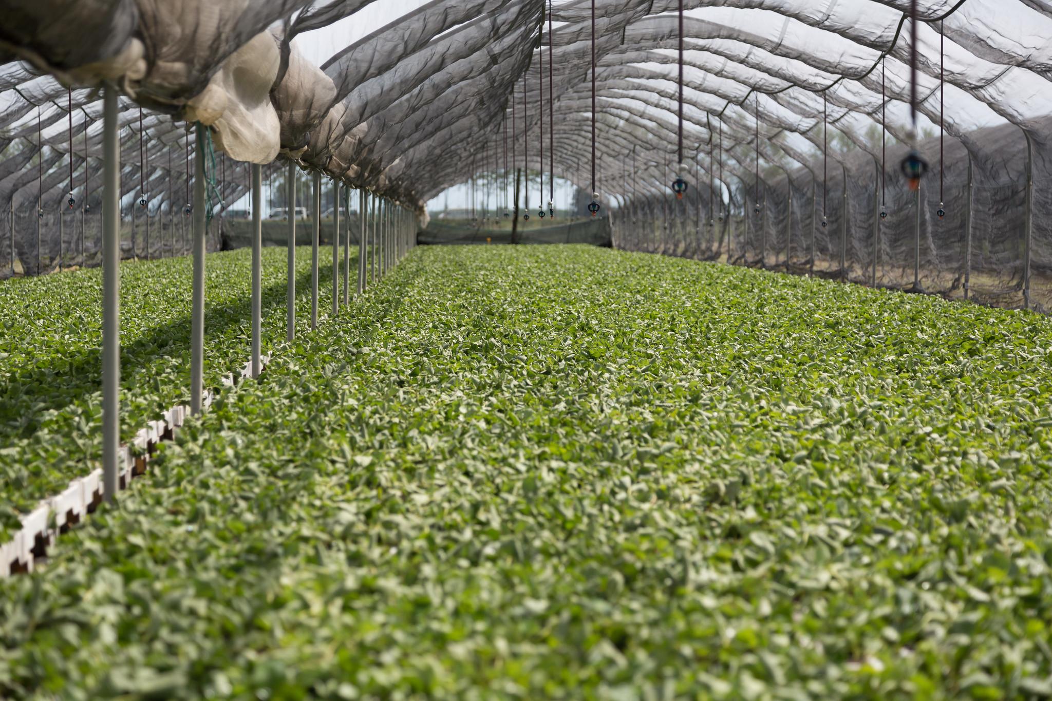 Fragole: il mercato oggi e la conferma della produzione vivaistica